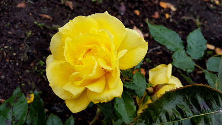 Close-up shot of a fully opened yellow rose with soil bed in the background.