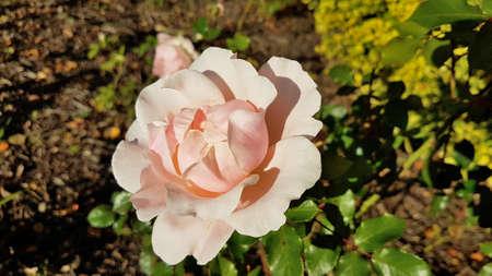 Close-up shot of a pink rose flower.