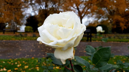 Close-up shot of a white rose with autumn trees in the background. Banque d'images