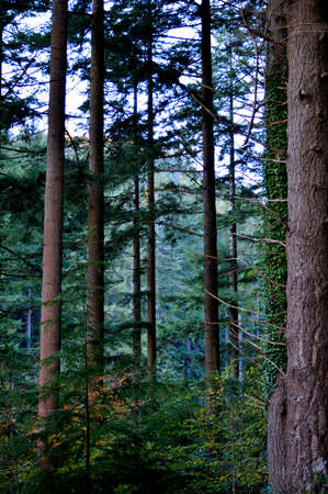Dense pine tree forest in Wales.