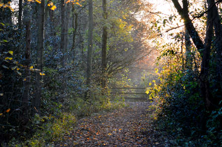 Hazy Autumn country woodland with sunlight coming through the trees.