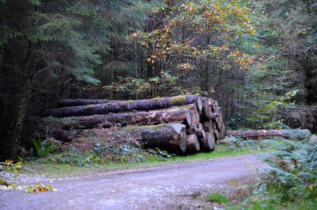 Pile of tree trunks on the side of a dirt track forest road.