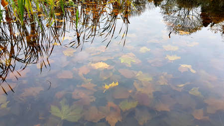Pond with clear water, submerged bed of autumn leaves and reflection of reeds.