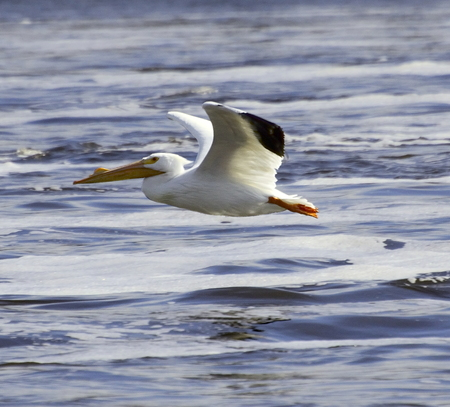 Low flying American White pelican sweeps down along the Mississippi river Stock Photo