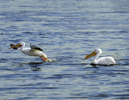 Water fowl coming in hot for a landing on the surface of the Mississippi river Stock Photo
