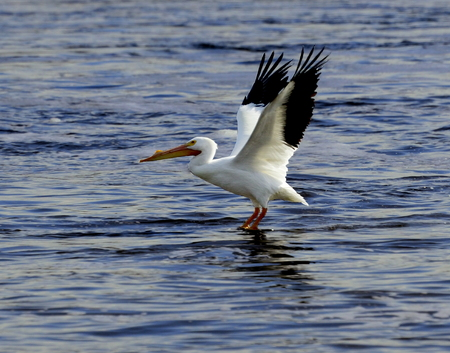 wing span: North American white pelican with feet dipping in the waters of the Mississippi river during its landing