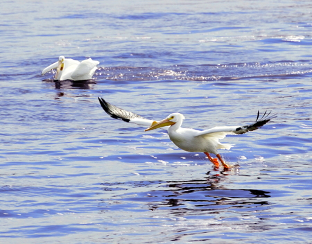A North American white pelican landing on the water surface with wings and legs outstretched
