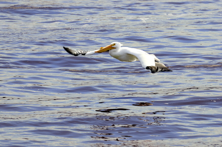 A North American white pelican flys low over the water surface of the Mississippi river Stock Photo