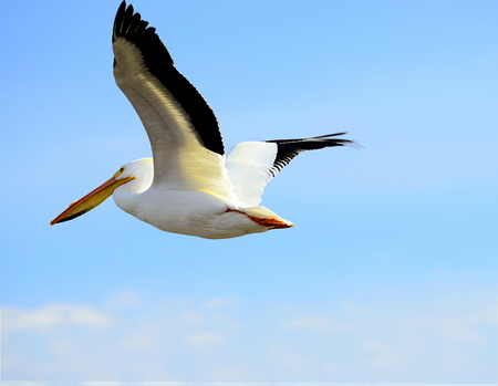 North American White Pelican soaring above head against a pale blue sky