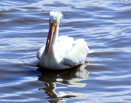 North American White Pelican sitting on water Stock Photo