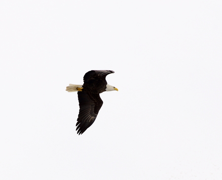 Isolated eagle soaring with wings wide Stock Photo