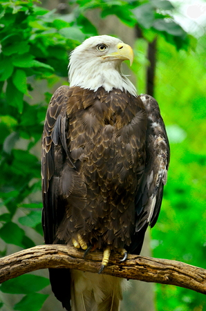 Bald Eagle perched in even lighting