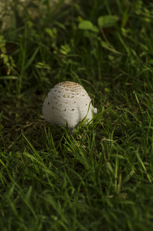 A maturing mushroom hides in the grass with morning dew still on its cap