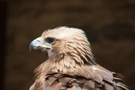 chrysaetos: �guila real (Aquila chrysaetos)  Foto de archivo