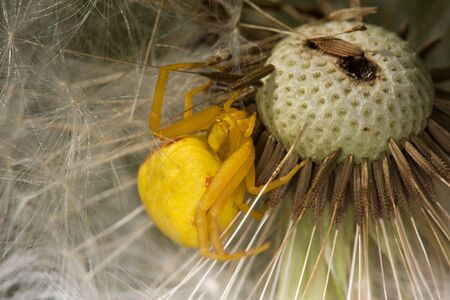 Yellow crab spider on dandelion  (Misumena vatia, Taraxacum officinale) photo