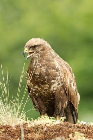 Marsh Harrier Archivio Fotografico - 3479359