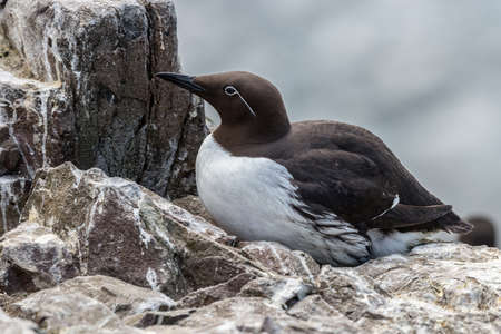 Individual guillemot sits on its nest on a cliff ledge in the Farne Islands, Northumberland. Some guillemots have clearly defined white spectacle markings around the eye. May