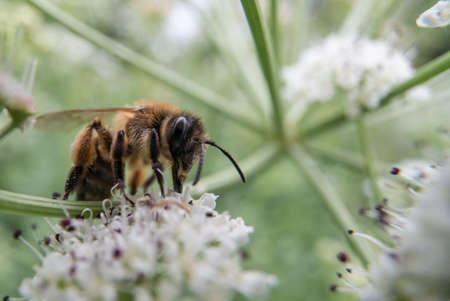 brecon beacons: Wide angle macro of a honey bee feeding on flowers of umbellifer in summer. Brecon Beacons, UK. June