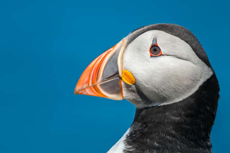Side on close up view of puffin {Fratercula arctica} head in the Farne Islands, May.
