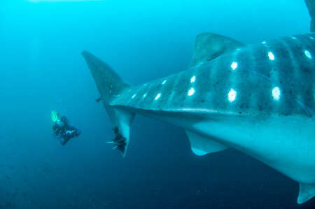 whale shark: Diver filming the tail of a whale shark in the Galapagos Islands. The whaleshark tail has remoras. September