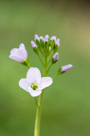 brecon beacons: Cuckooflower or Ladys Smock (Cardamine pratensis) opening in Spring. Brecon Beacons, Wales. April