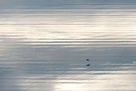skye: Oystercatcher flying over the calm sea in Skye. January.
