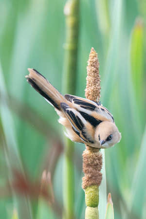 Juvenile bearded tit {Panurus biarmicus} perching on a bulrush at Rainham Marshes, June. Stock Photo