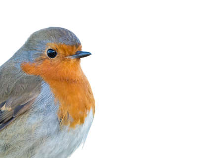 brecon beacons: A wild European Robin (Erithacus rubecula). Detail of head and shoulders isolated on white background. White space available for text. Brecon Beacons, February. Stock Photo