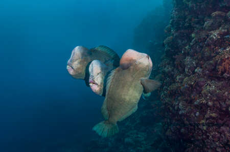 humphead: Bumphead parrotfishes are enormous, over 1m long. Their heads are used to smash up coral. Sudan, Red Sea, December