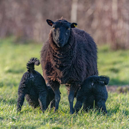 brecon beacons: Black ewe feeding her two  lambs with their bottoms in the air, Llangynidr, Wales. March