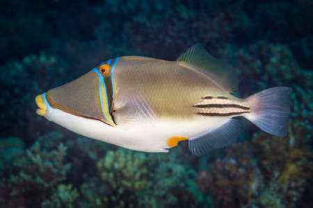 triggerfish: Picasso triggerfish (Rhinecanthus assasi) in profile view, swimming over a coral reef in the Red Sea, Egypt. November Stock Photo