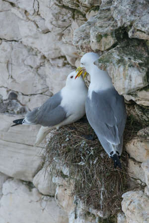 perilous: Pair of Kittiwakes (Rissa tridactyla) sitting on their nest. One is regurgitating food for the other. Bempton Cliffs, UK, May. Stock Photo