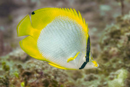 ocellatus: Single spotfin butterflyfish (Chaetodon ocellatus) swimming over a coral reef in the Bahamas, Caribbean. December