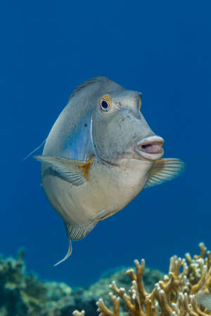 Bluespine unicornfish {Naso unicornis} above a coral reef in the Red Sea. June