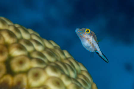 Sharpnose pufferfishes are only 2-3 inches long and commonly swim close to the coral reef. Bahamas, December Stock Photo