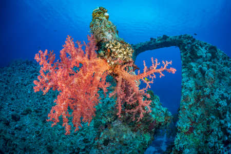 red coral colony: Soft coral (Dendronephthya hemiprichi) growing on the proeller blade of the Dunraven wreck. Red Sea, Egypt, November Stock Photo