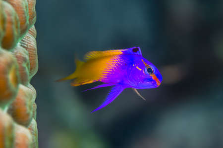 Royal Gramma, {Gramma loreto} is commonly seen in the Bahamas, and is very territorial next to the coral.