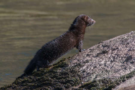 American mink {Neovison vison} on the river Usk, Wales. The blue colours on its coat are the effect of sunlight on the oils in the coat. March