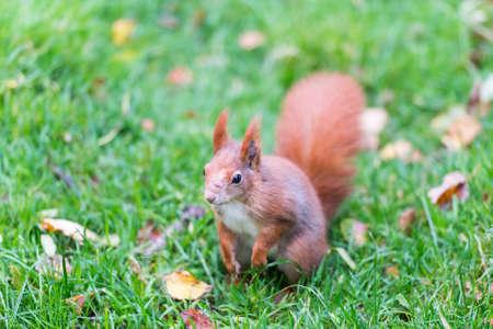 Red squirrels are bred in captivity in the British Wildlife Centre. (Sciurus vulgaris)