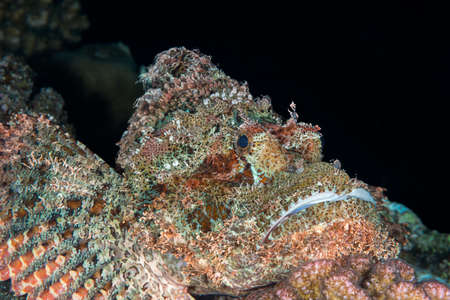 scorpionfish: Smallscale (or tasseled) scorpionfish (Scorpaenopsis oxycephala) is well camouflaged on the seabed, but the ornate decoration is clearly visible against a black background. Red Sea, Egypt, November Stock Photo