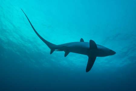 Voshaai haaien zijn de pelagische en leven in de diepe oceaan. Echter, Malapascua biedt een unieke kans om deze ongelooflijke haaien van dichtbij terwijl ze schoongemaakt. Monad Shoal, Filippijnen, november. Stockfoto