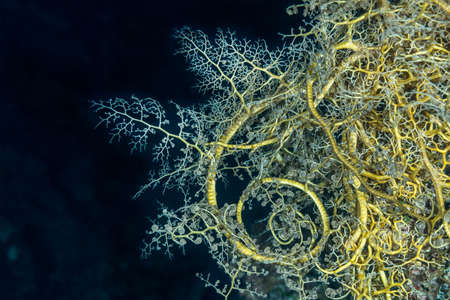 echinoderm: Giant (or Gorgon head) basket star (Astroboa nuda), showing Christmas tree-like branches and tight spirals, used for filter feeding. Red Sea, Egypt, November