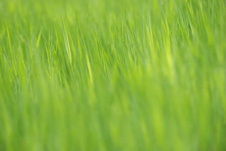 brecon beacons: Abstract of blades of grass with blurred foreground and background.  Springtime Natural texture pattern. Brecon Beacons, Wales, UK. May. Stock Photo