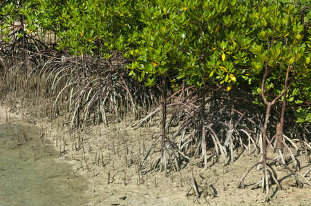 stilted: Mangroves provide a defensive flood barrier with stilted roots on the coastal edge. Danjugan Island, Negros, Philippines. April