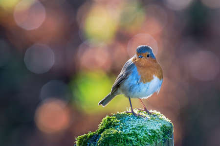 brecon beacons: Robin standing on an ice covered mossy post with bright circular bokeh background. Brecon Beacons National Park, February Stock Photo