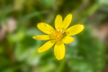 brecon beacons: Flowering Lesser Celandine (Ranunculus ficaria) against a blurred background, a very common sight in early Spring in the UK. Brecon Beacons. April
