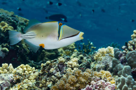 Picasso triggerfish {Rhinecanthus assasi} is aptly named, having a curious colour pattern. Elphinstone, Red Sea, June.