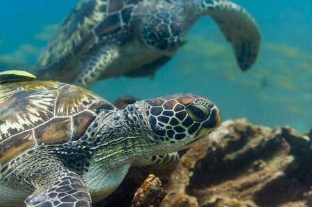 chelonia: A green sea turtle (Chelonia mydas) rests on a coral reef, another turtle approaches, with a fish shoal in the background. Philippines, April. Stock Photo