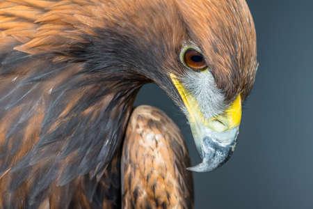 aigle royal: Golden Eagle {Aquila chrysaetos}. Captive, photographie de studio. Nottingham. Octobre.