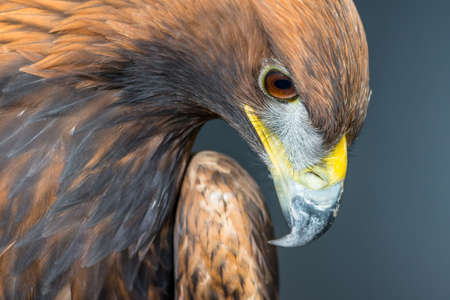 Golden Eagle {Aquila chrysaetos}. Captive, studio photograph. Nottingham. October.